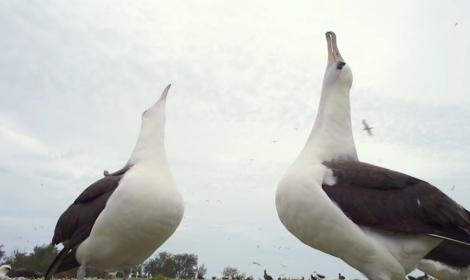 Albatros_sos